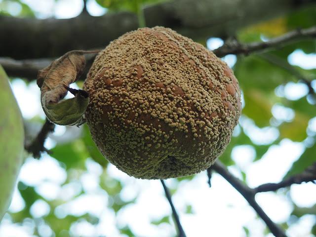 Monilioza - Putregaiul brun sau Mumificarea fructelor