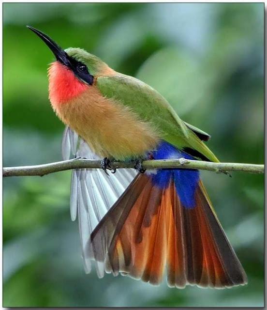 طيور نــادرة رائــــــعة red-throated-bee-eat