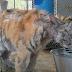La sorprendente transformación de un tigre rescatado de un circo