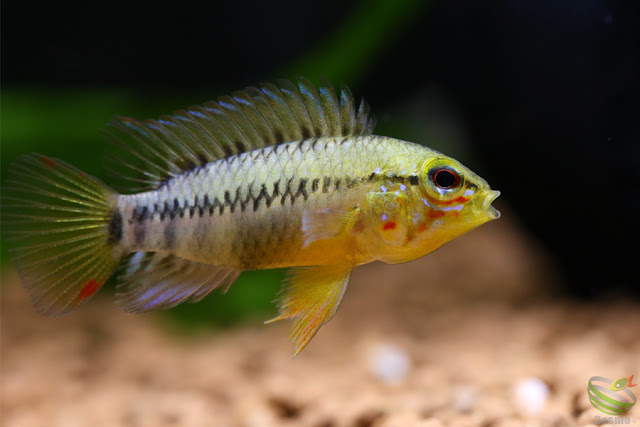 Apistogramma viejita from Colombia