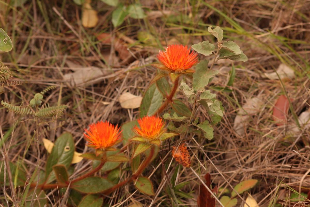 Flor nativa do Cerrado, Para-tudo - foto de Evandro F. Lopes