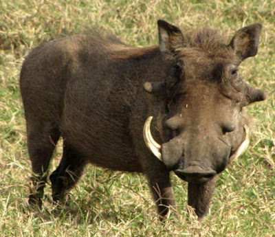 Warthog - Animals That Start With W