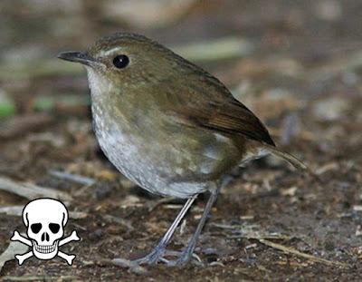 Rahasia Perawatan Burung Cingcoang Muda Agar Berhasil Burung Mania