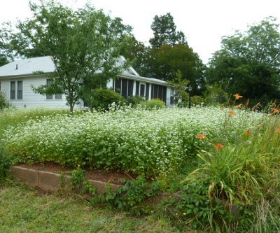thick growth of buckwheat blooming near the house