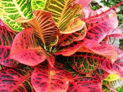 Tanaman Hias Puring (Codiaeum variegatum)