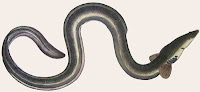 The effect of parasitic Nematodes on European Eels.                                       European Eels, Anguilla anguilla, have a complex life-cycle; they hatch from eggs in the Sargasso Sea...