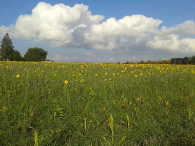 Sonnenblumenfeld - Sonnenblumen und Weihnachtssterne