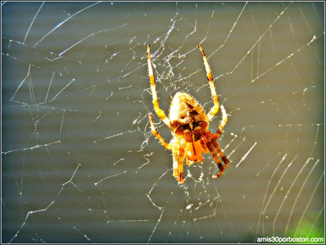 Araña de Ipswich, Massachusetts