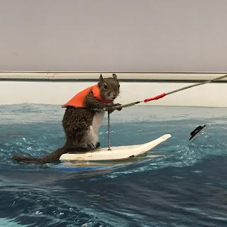 Squirrel skiin water skiing