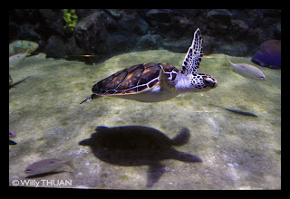 Tortues de mer a l'aquarium de Phuket