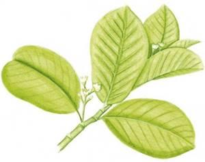 Cáscara-sagrada, nome científico: Rhamnus purshiana