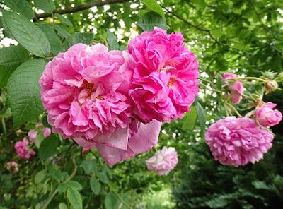 Rosas aromáticas para elaborar helado