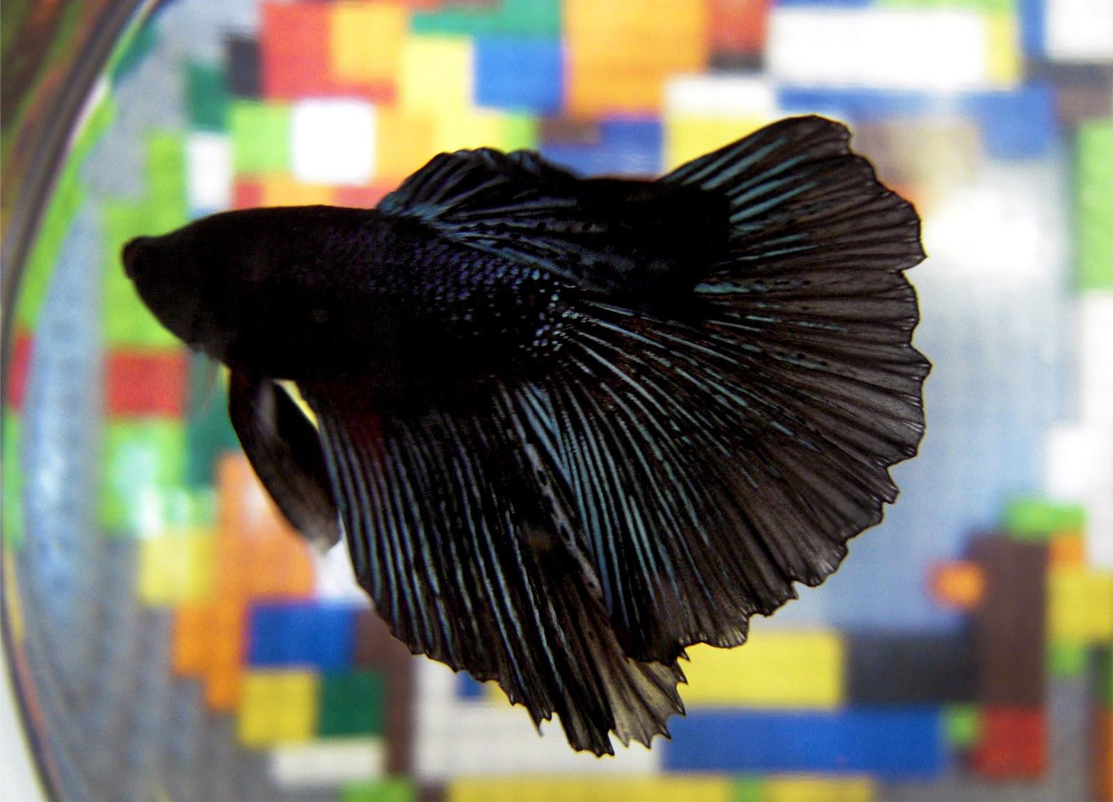 black betta. | Betta Fish | Pinterest