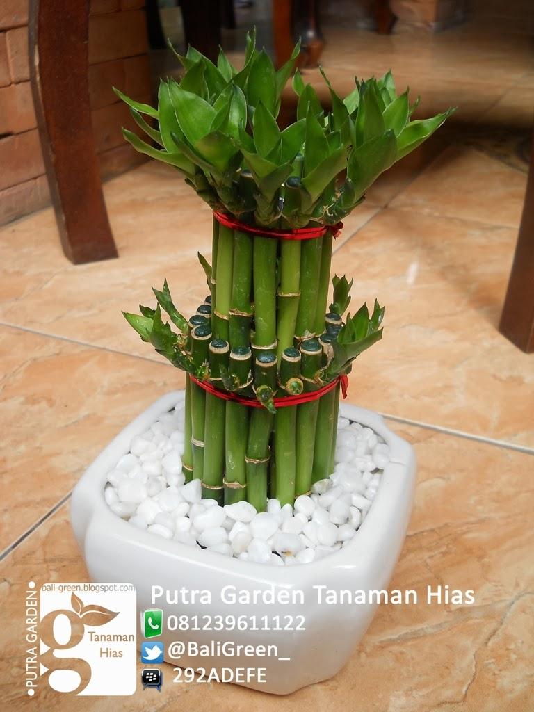 Tanaman Hias Unik Bambu Rejeki (Lucky Bamboo) Di Bali