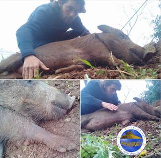 التعريف بنوعية الخنزير الموجودة برفراف الشاطى  واسمه الخنزير البري
