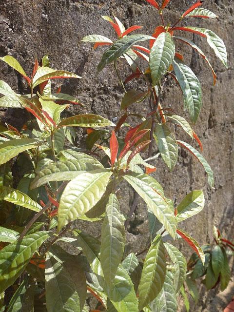 Đơn mặt trời - Đơn Lá Đỏ - Excoecaria cochinchinemsis - Nguyên liệu làm thuốc Chữa Bệnh Tiêu Hóa
