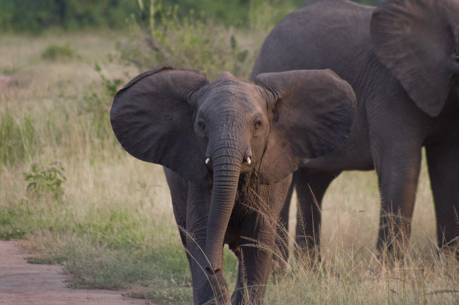 elephant baby african animal animals latest elephants safaris dangerous asian birds wallpapersafari wallpapers