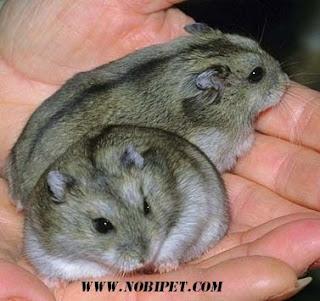 cach-phan-biet-chuot-hamster-winter-white-ww-va-campell-chuyen-nghiep-8