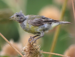 Permasalahan Burung Yang Mabung (MOLTING) : Maslah Terjadinya Mabung Pada Burung Kicau (Bagian 3)