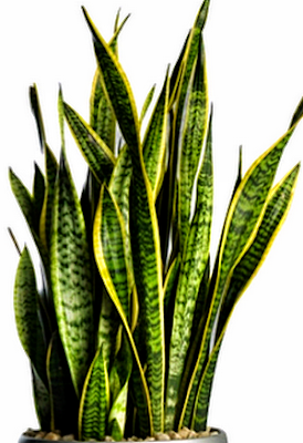 Snake plant or Mother-in-Law's Sansevieria trifasciata
