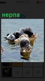 Из воды на камни вылезли несколько тюленей нерпа, лежат отдыхают на поверхности