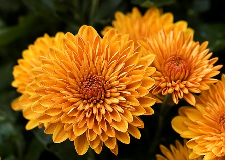 Pictures Of Flowers Mums