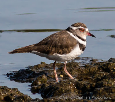 Three-Banded Plover : Canon EOS 70D / 400mm Lens