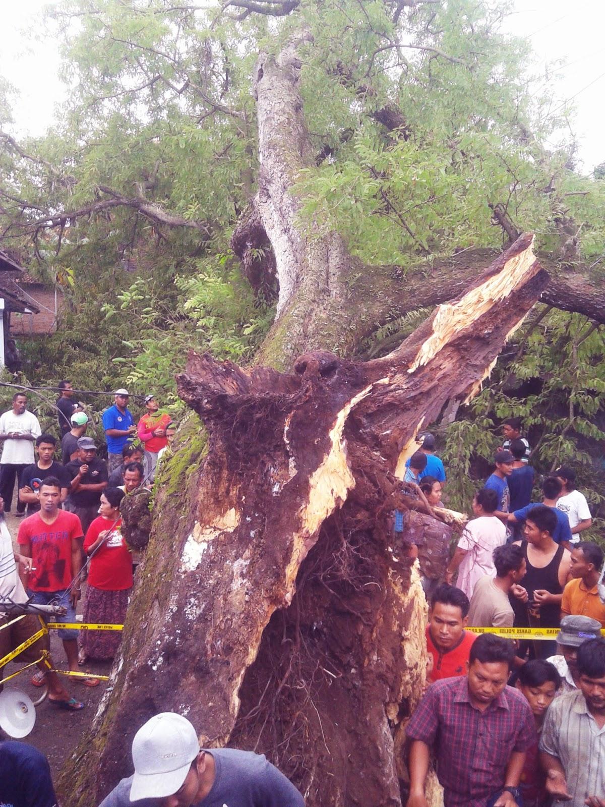 Keajaiban dibalik Peristiwa Tumbangnya Pohon Asem Kemis