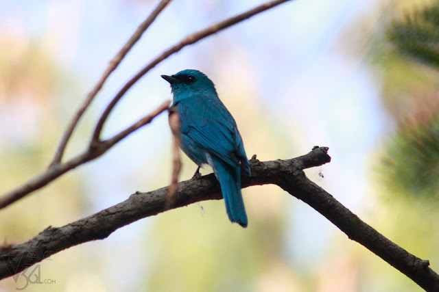 Verditer Flycatcher(15-17 cm) - Valley school, Bengaluru