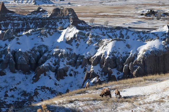 Badlands National Park, South Dakota, Bighorn Sheep
