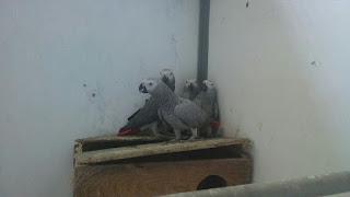 Indukan African Grey