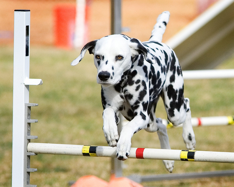 Dalmatian - Breed Profile   Australian Dog Lover