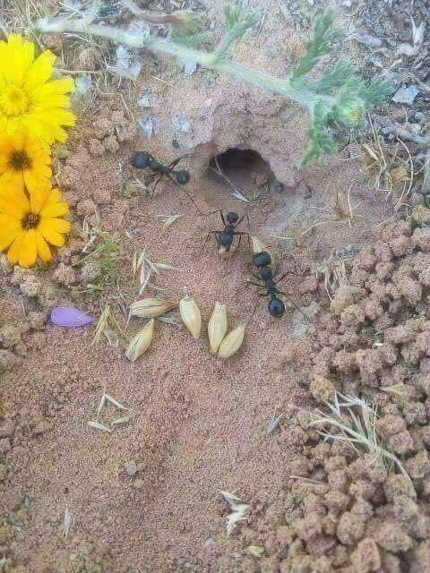 لماذا لاينبت القمح الذي يخزنه النمل