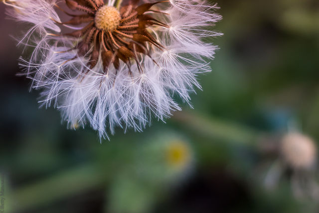 cutand-dry.blogspot.com dandelion