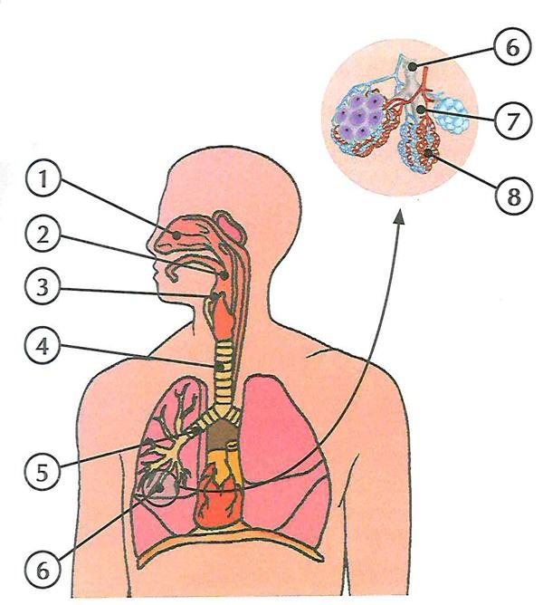 o aparelho respiratório humano está sendo representado, e nele estão localizadas suas principais estruturas