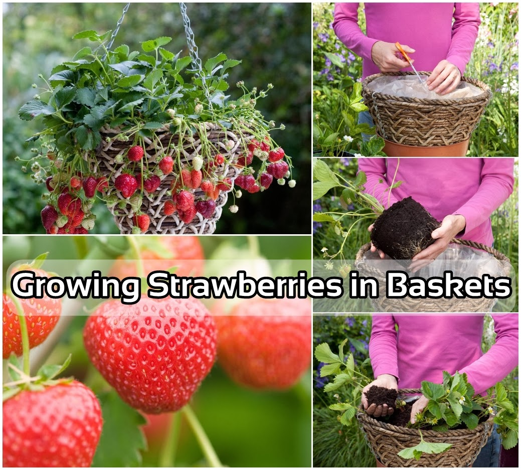 Idees And Solutions: Idees And Solutions: Growing Strawberries In Baskets