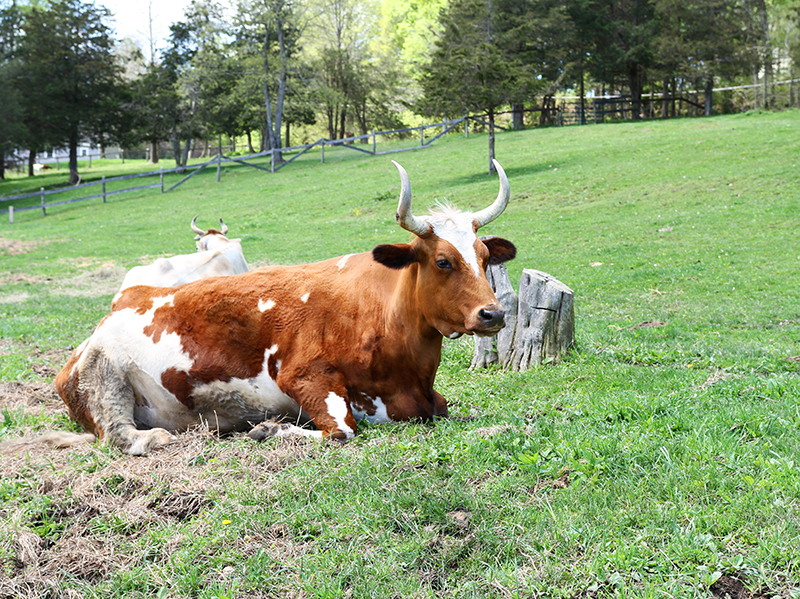 Veganreise New York Catskill Animal Sanctuary Amos Bull