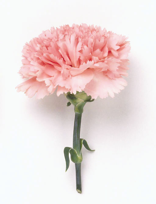 January S Birth Flower The Carnation Comes In Several Diffe Colors To Convey Meanings Much Like Roses A Pink Means Affection