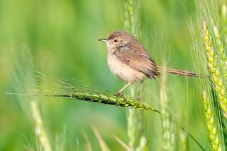 Semua Macam Jenis Burung Ciblek Lengkap dengan Gambar, Berbagai Macam Jenis Burung Ciblek Lengkap dengan Gambar, Semua Macam Jenis Burung Cucak Ijo Lengkap dengan Gambar