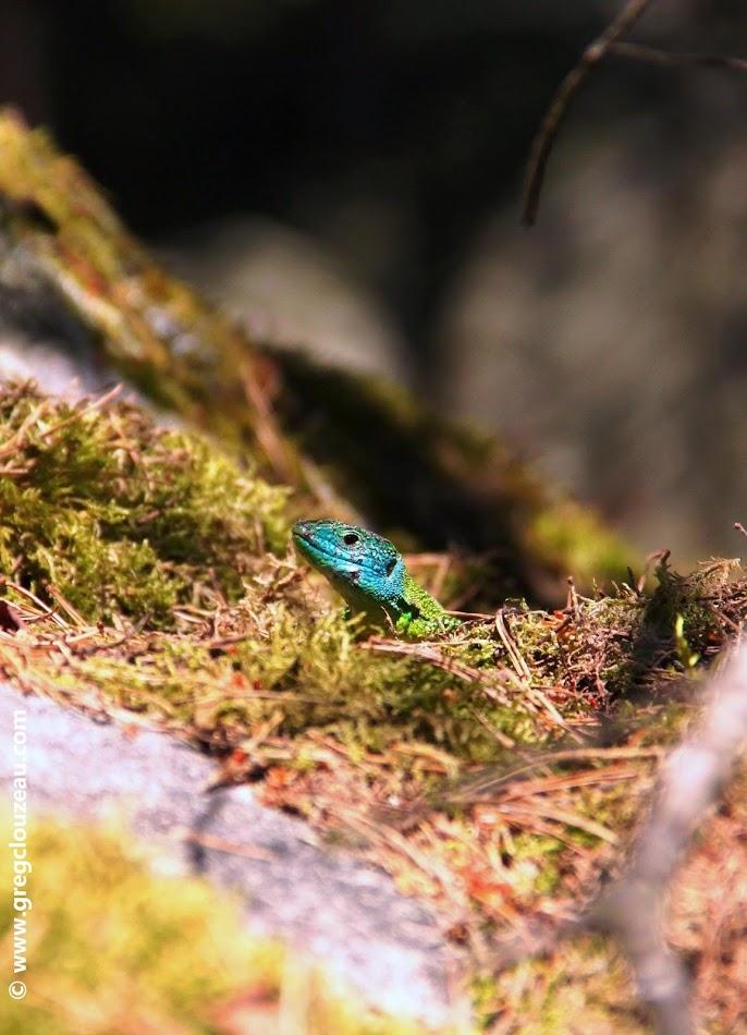 Lézard vert mâle, Fontainebleau, (C) 2014 Greg Clouzeau