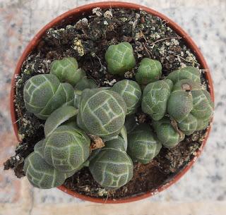 crassula barklyi succulent