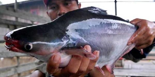 Jenis Umpan Buatan Memancing Ikan Patin