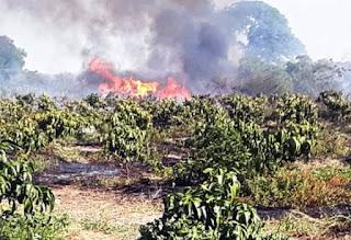 Incêndio destrói plantação de mangueiras