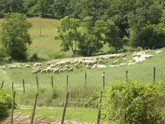 gregge di pecore vicino a Manciano in Maremma