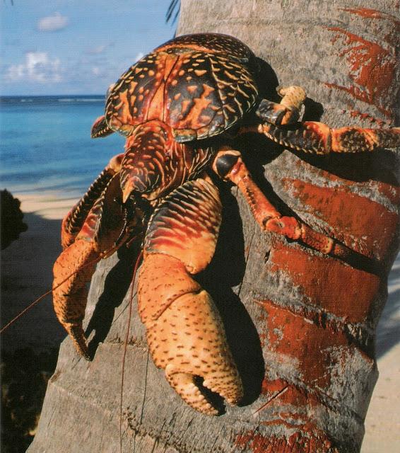 Caranguejo-do-coqueiroÉ o maior artrópode terrestre do mundo. Embora não tenha subespécies as cores variam entre azul, roxo, vermelho, preto, e cor-de-laranja.