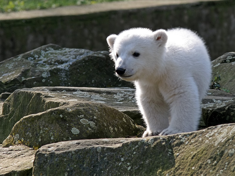 Baby Polar Bear Desktop Wallpapers Free Download