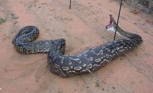 Africans Slitted A Giant Snake And Found It Was Full of Eggs