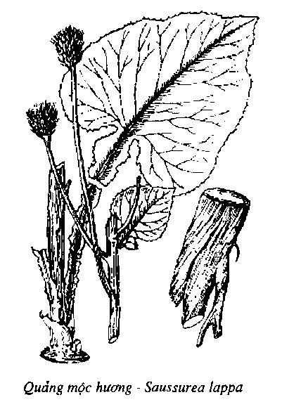 Hình vẽ Quảng Mộc Hương - Saussurea lappa - Nguyên liệu làm thuốc Chữa Bệnh Tiêu Hóa