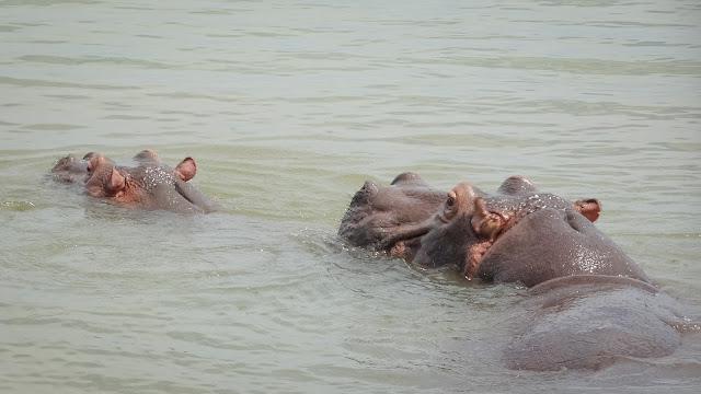 Burundi Hippos very close
