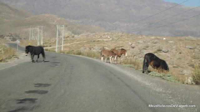 Animais na estrada para o Valle Nevado